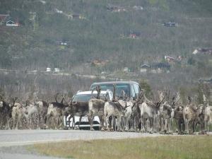 Reindeer galore